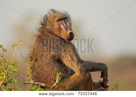 Big male chacma baboon (Papio hamadryas ursinus), Kruger National Park, South Africa