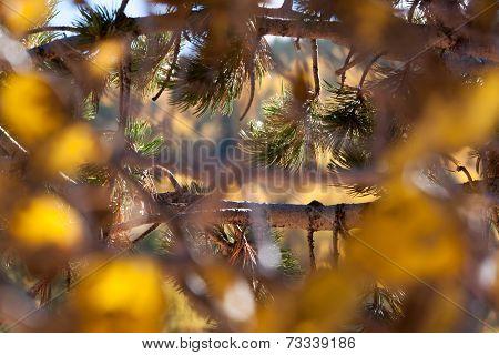 Pines needles