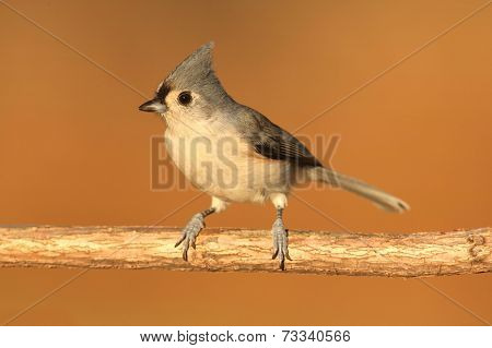 Titmouse On A Stick