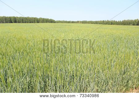 Wheat field to forest