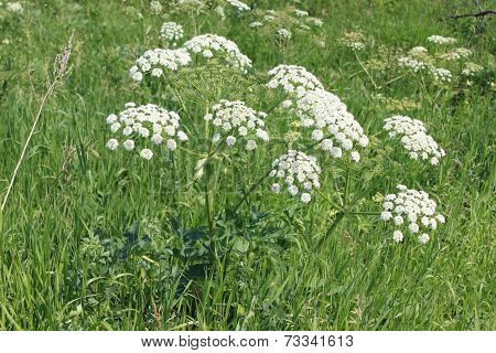 Flower: Blooming Hemlock