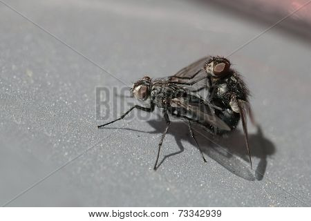 Flies mating on a shiny surface