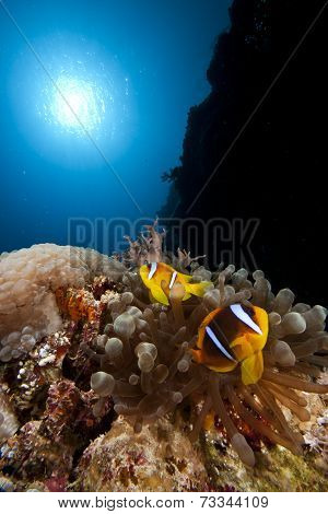 anemone / clown fish