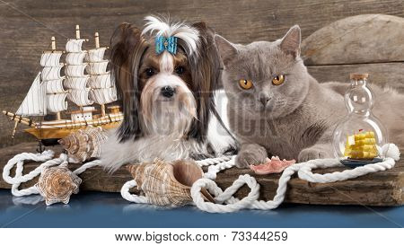 cat and dog, dachshund and british cat