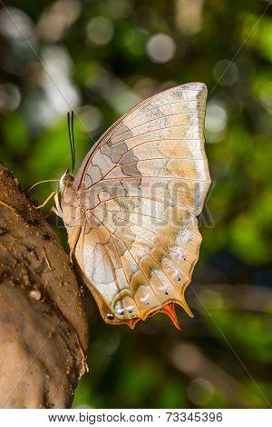 Tawny Raja Butterfly