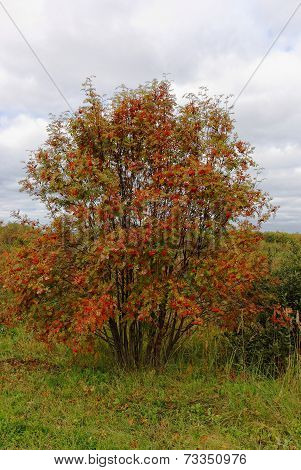 Big bush of a mountain ash with a set of bright red berries