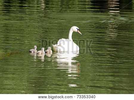 Female swan and its youngs, a walk in family
