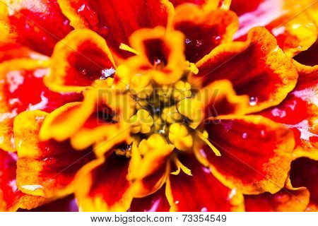 Close Up Of The Tagetes (marigold) Flower With Dewdrops
