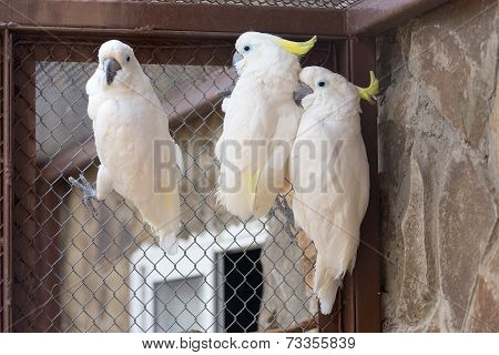 Three Sulphur-crested Cockatoo