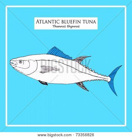Hand-drawn Atlantic blue-fin tuna