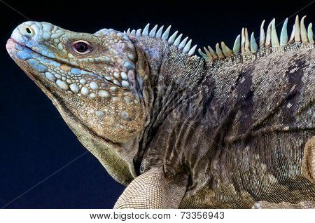 Blue rock iguana / Cyclura lewesi
