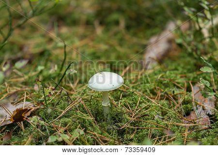 White Edible Mushrooms