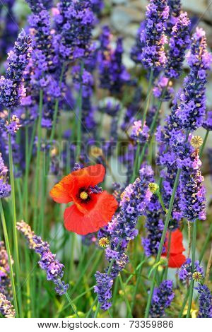 Provence Flower