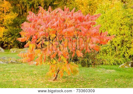 Sorbus Dodong Or Rowan Tree