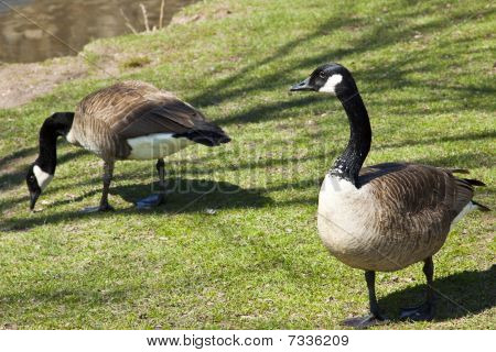 Canadian geese in a public park.