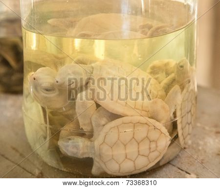 Albino turtles in glass jar at Sea Turtle Farm and Hatchery. The center was started in 1986 and up to now they released more than 500,000 Turtles to ocean