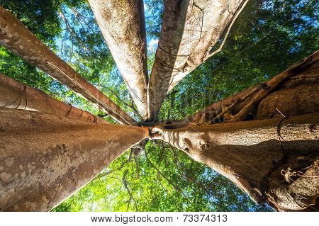 Sunny Rainforest With Giant Banyan Tropical Tree, Cambodia