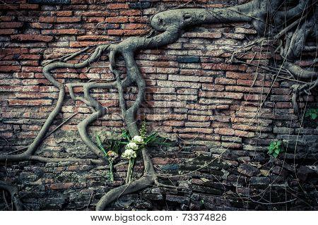 Ancient Brick Wall With Growing Banyan Tree Roots