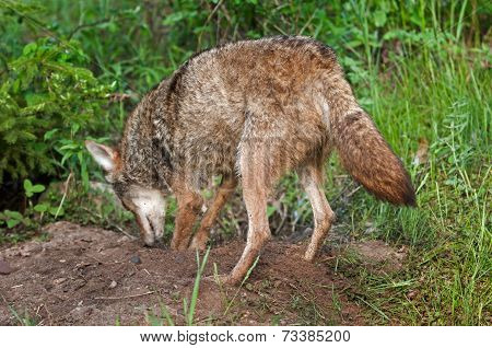 Coyote (canis Latrans) Digs At Den Site
