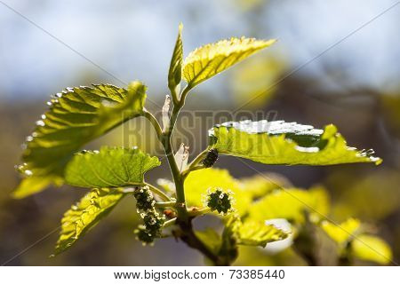Green Branch Of The Mulberry Tree With Unripe Berries