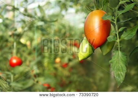 Oblong Red Tomato Hanging In Greenhouse