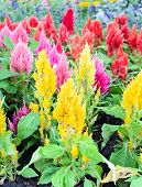 picture of celosia  - Colorful plumed cockscomb flower or Celosia argentea blossom - JPG