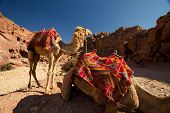 stock photo of camel-cart  - Camels resting in the archaeological site of Petra Jordan - JPG