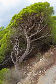 stock photo of windswept  - A windswept Mediterreanean pine tree with its tilted trunk - JPG