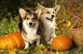 picture of corgi  - Welsh Corgi Pembroke dog and pumpkin - JPG