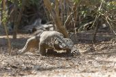 stock photo of komodo dragon  - Komodo Dragon walking in the wild on Komodo Island - JPG