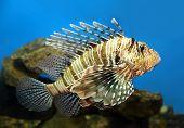 picture of venomous animals  - lionfish zebrafish underwater close - JPG