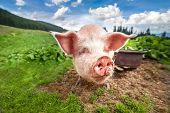 foto of pig-breeding  - Cute pig grazing at summer meadow at mountains pasturage under blue sky - JPG