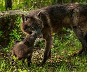 image of lupus  - Black Wolf Pup  - JPG