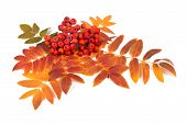 picture of rowan berry  - Raceme ripe rowan berries and autumn leaves on a white background - JPG