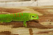 stock photo of giant lizard  - Wild Madagascar Giant Day Gecko in Grassy Key - JPG