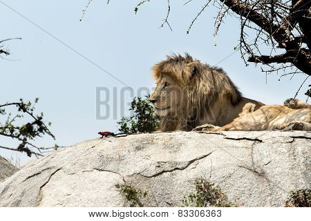 Male Lion Sitting On A Rock Sitting Sideways