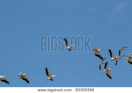 Saddle Billed Storks Flying In A Blue Sky Background