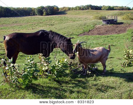 horse and goat in pasture