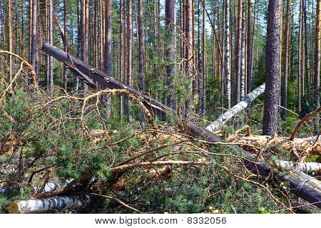 "Consequences of hurricane ""Asta"" Russia. The uprooted trees and the tumbled down support of lines el"