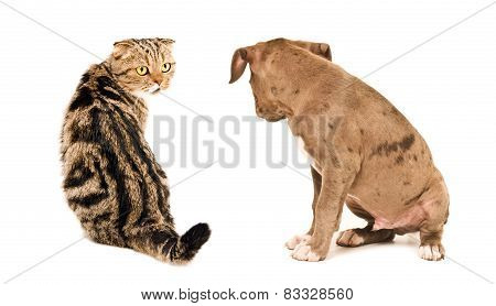 Scottish Fold cat and puppy pit bull sitting looking at each other