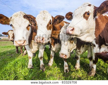 Cattles At A Meadow Waiting For Feeding