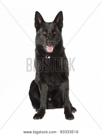 Black German Shepherd Looking At The Camera
