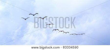 Pelicans Flying Under Dark Clouds