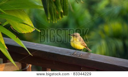 Yellow Breasted Flycatcher