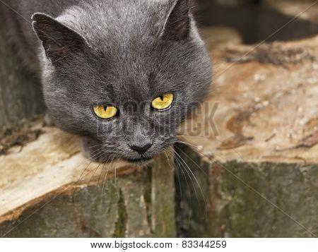 Gray Cat With Sad Eyes