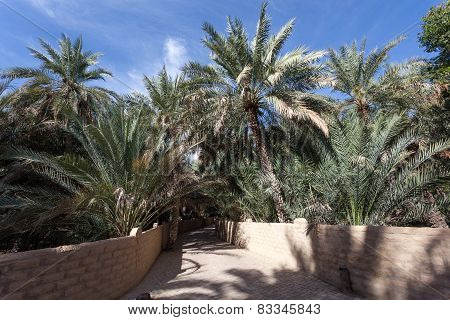 Palm Trees In The Al Ain Oasis