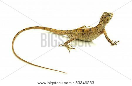 Chameleon Isolated On White Background