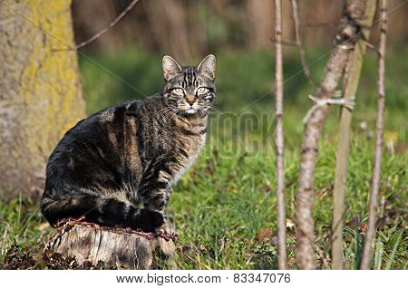 Wild Cat On The Chopping Block