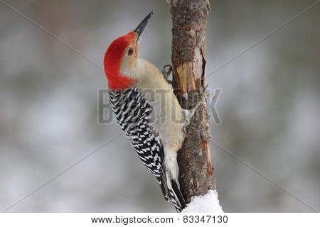Red-Bellied Woodpecker Perching