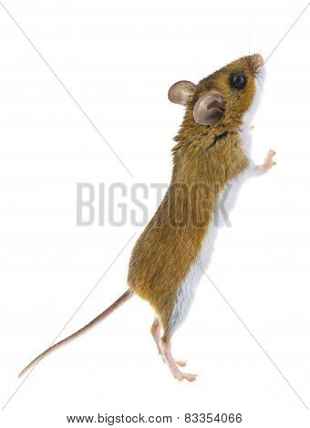 Deer Mouse - Peromyscus Mouse